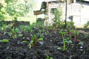 This image has an empty alt attribute; its file name is garden-bed-chard-plant-gardening-gardeners-garden-design-vegetables-allotment-300x200.jpg