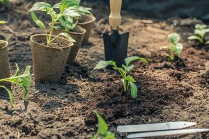 This image has an empty alt attribute; its file name is pepper-seedling-planting-garden-gardening-green-300x200.jpg